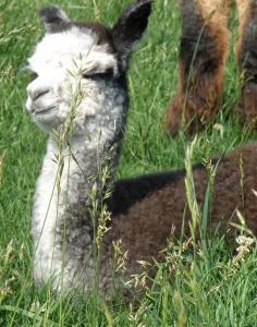 Grey alpaca cria