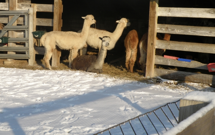 I think we'll stay in the barn - Alpacas at Willowbrook Farm